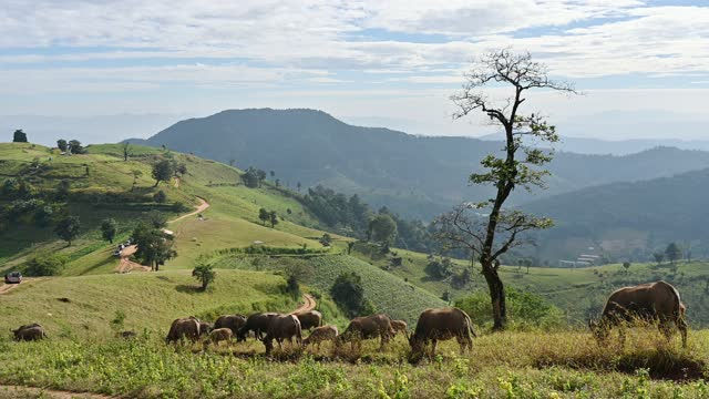 Herd of Buffalo grazing on agricultural hill in countryside