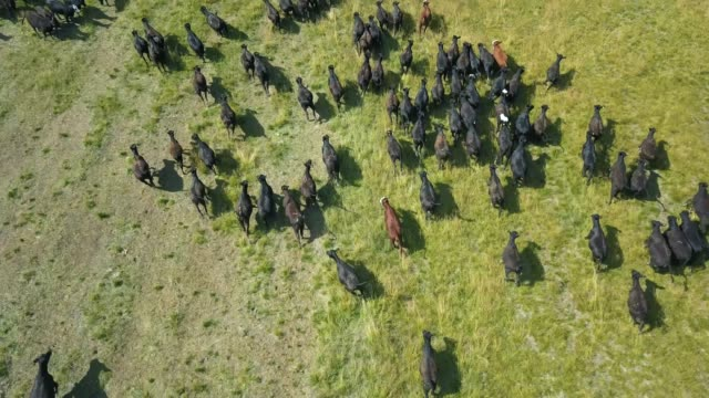 Herd of bulls running across field