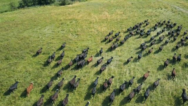 vídeos de stock e filmes b-roll de herd of bulls running across field - gado animal doméstico