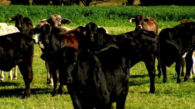 Herd of Cattle, Black Cows & Bulls, Brahman Livestock