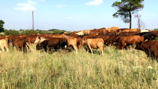 herd of cattle moving down the field - giovenca video stock e b–roll
