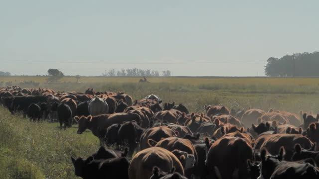 Herd of Cattle video