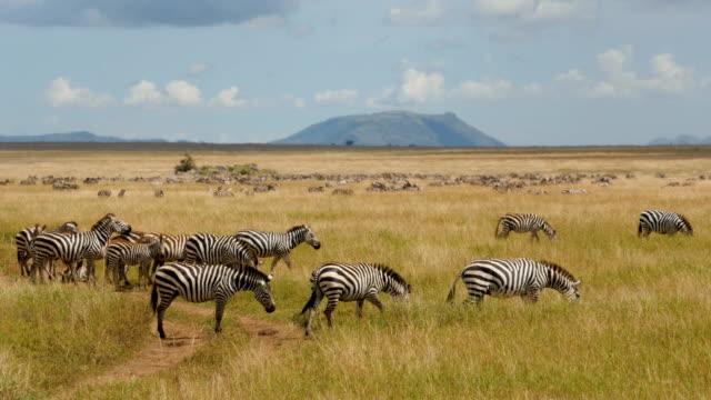 eine herde von gemeinsamen zebras galopp im serengeti-nationalpark tansania - 4k - savanne stock-videos und b-roll-filmmaterial