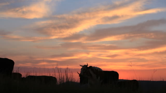en flock kor vid solnedgången - nötkreatur bildbanksvideor och videomaterial från bakom kulisserna