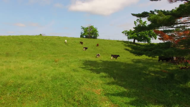 Herd of Cows, Cattle, Grazing in Tranquil Hillside Pasture video