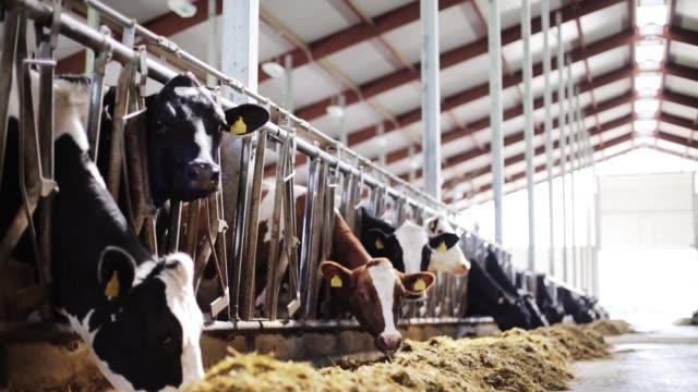 牧場の牛舎で干し草を食べる牛の群れ - 牧畜場点の映像素材/bロール