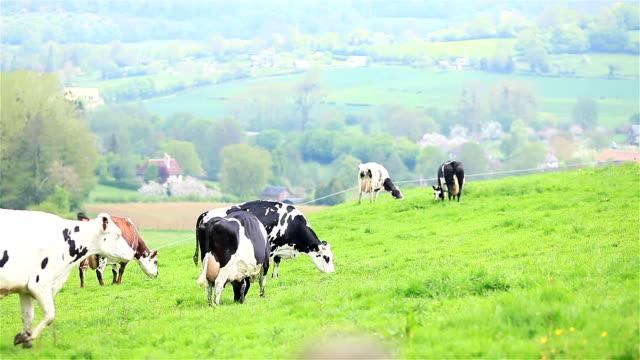 fransa 'da yeşil mera çim çayır otlatma inekler sürüsü - meme hayvan vücudu bölümleri stok videoları ve detay görüntü çekimi