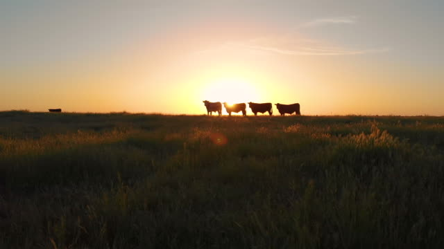 AERIAL: Herd of cows grazing in the vast pasture on a beautiful summer evening.