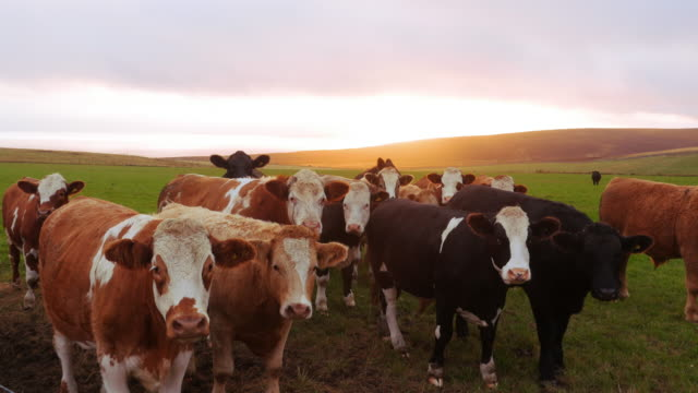 A herd of cows in Orkney Islands A herd of cows looking at the camera in Orkney countryside at sunset scotland stock videos & royalty-free footage