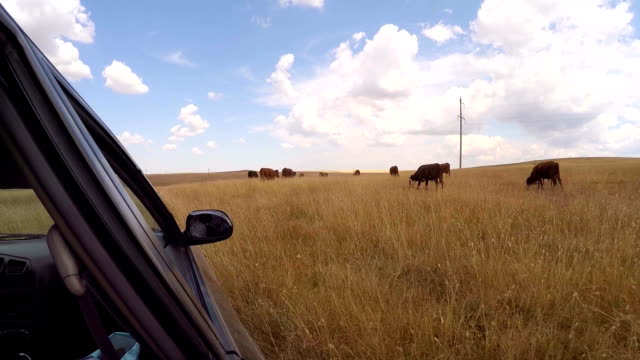 herd of cows on the meadow - cane addestrato video stock e b–roll