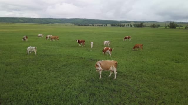 a herd of cows. view from above. 4k high-resolution video - ранчо стоковые видео и кадры b-roll