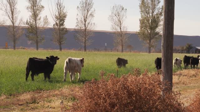 herd of cows walk away video