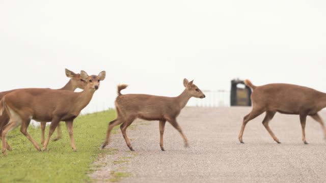 herd of deer crossing a road in environmental conservation under raining day - jeleniowate filmów i materiałów b-roll