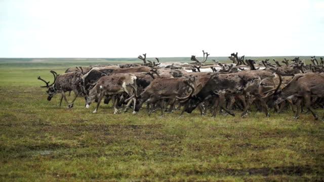 vídeos de stock e filmes b-roll de uma manada de veados na tundra. a península de yamal. - sibéria
