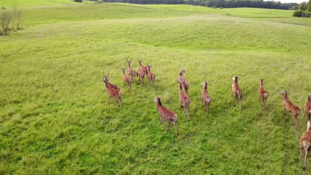 herd of deer led by a leader walks in the paddock. aerial survey - jeleniowate filmów i materiałów b-roll