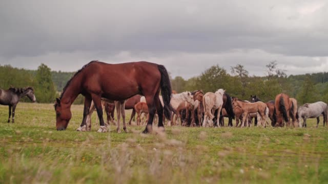 a herd of domestic horses.general plan. horses grazing in the field. - ssaki kopytne filmów i materiałów b-roll