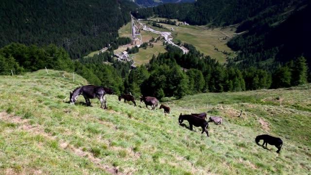 Herd of donkeys on pasture. video