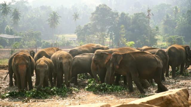 MS Herd of elephants eating,Sri Lanka