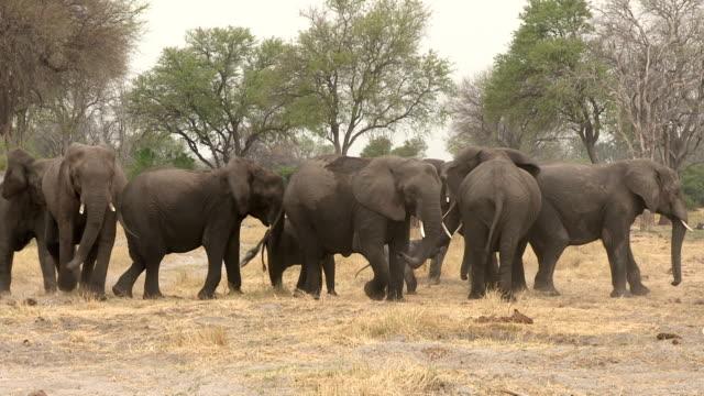 Herd of elephants forming protective shield around newly born baby, Botswana video