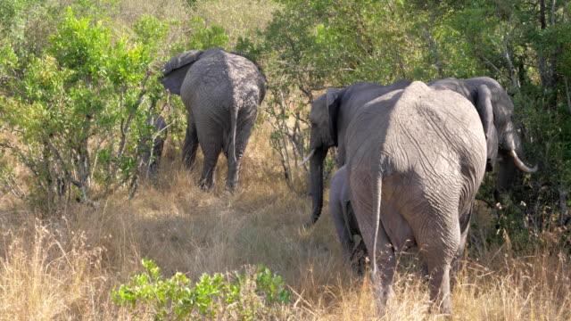 Herd of Elephants Hide In The Bushlands Of African Savannah 4K video