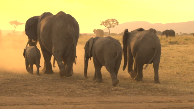CLOSE UP: Herd of elephants raising dust when roaming through savannah desert CLOSE UP: Spectacular large matriarch group of wild elephants with cute offspring marching through hot African savannah desert raising big cloud of dust on the road at dreamy fiery golden light sunset tanzania stock videos & royalty-free footage