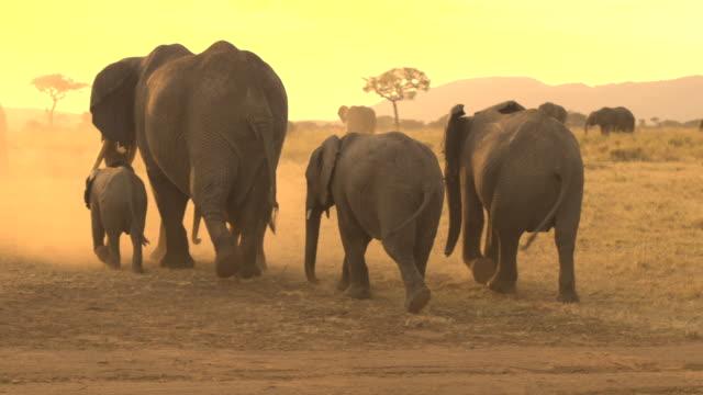 CLOSE UP: Herd of elephants raising dust when roaming through savannah desert video