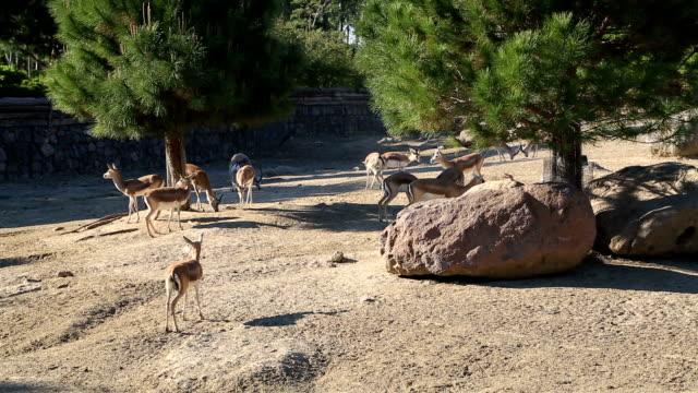A herd of gazelle, feeding video