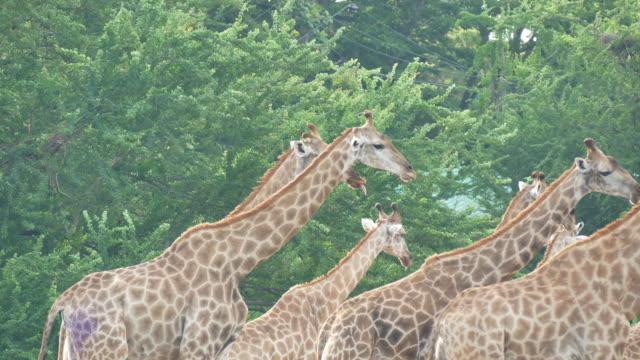 Herd of giraffe Herd of giraffe animal whisker stock videos & royalty-free footage