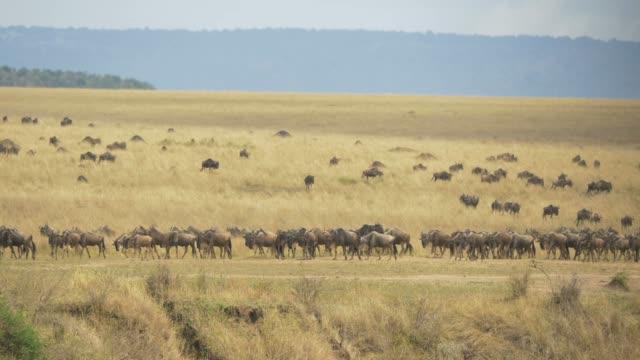 herde von gnus zu fuß auf trockenen ebenen - savanne stock-videos und b-roll-filmmaterial