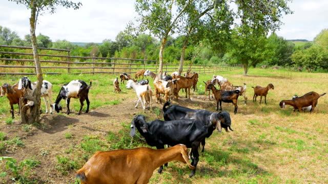 Eine Herde von Ziegen grasen auf einer Wiese. Landschaft – Video