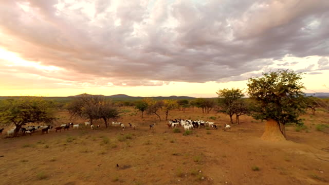 HELI Herd Of Goats In Naimibian Savannah