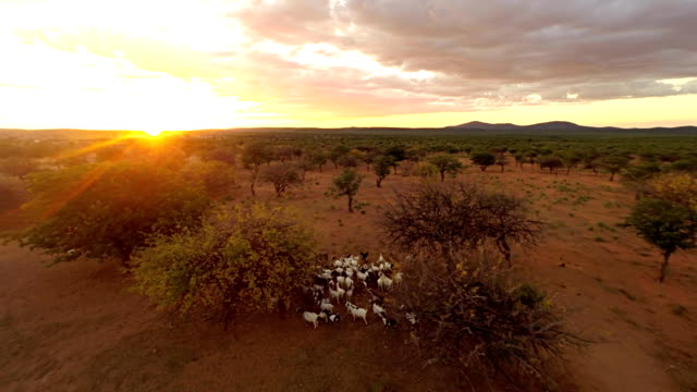 HELI Herd Of Goats In Savannah HD1080p: AERIAL HELI shot of a herd of goats in Namibian savannah at sunset. Northern Namibia, Namibia. Africa. minority groups stock videos & royalty-free footage
