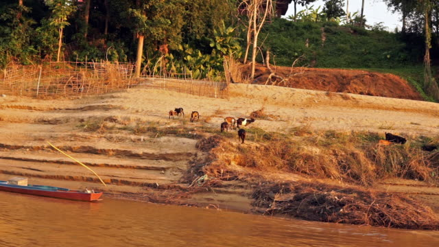 Herd of Goats on the Mekong river bank, Luang Prabang, Laos