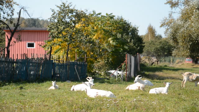 A herd of goats perch on a meadow on a sunny day video