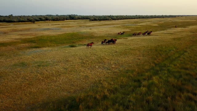 Herd of horses. Aerial survey video