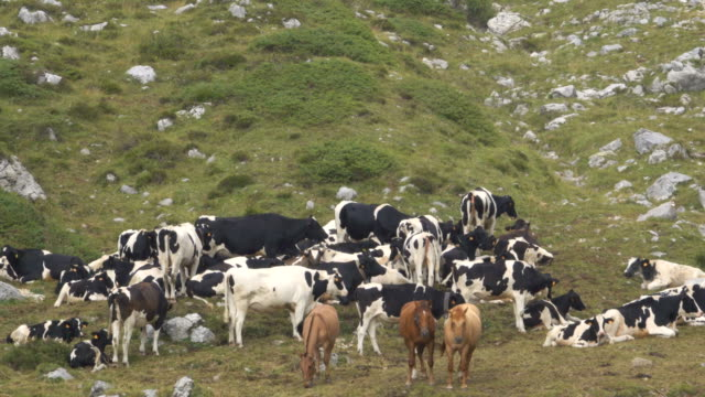 Herd of horses and cows grazing in the mountains Herd of horses and cows grazing in the mountains mare stock videos & royalty-free footage