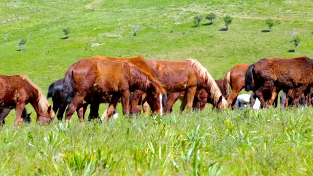 Herd of horses are grazed on a meadow video