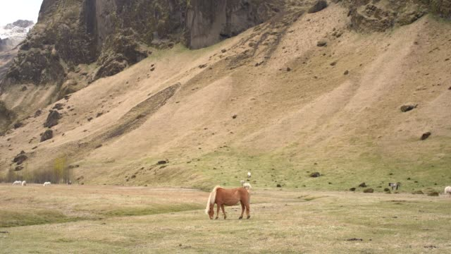 a herd of horses grazes on a background of a rocky mountain. the icelandic horse is a breed of horse grown in iceland. - ssaki kopytne filmów i materiałów b-roll