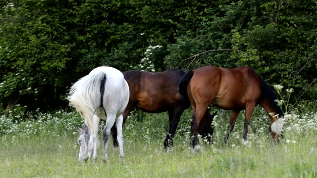 herd of horses grazing in a spring meadow - cavallo purosangue video stock e b–roll