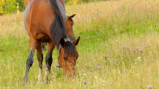 A herd of horses grazing on mountain pasture video