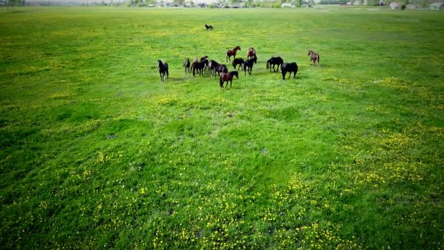 a herd of horses grazing on the lawn - grzywa filmów i materiałów b-roll