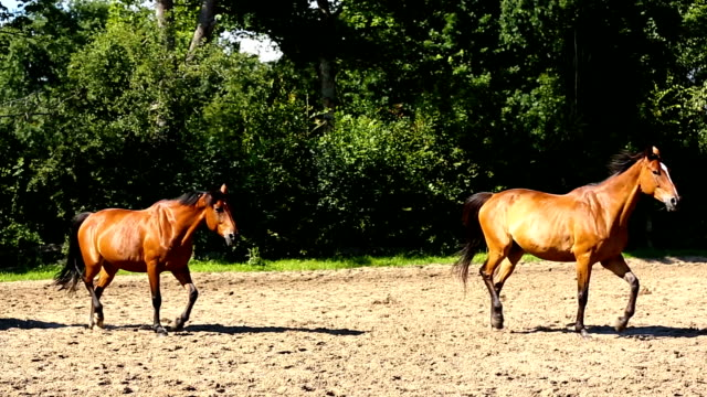 herd of horses in summer - cavallo purosangue video stock e b–roll