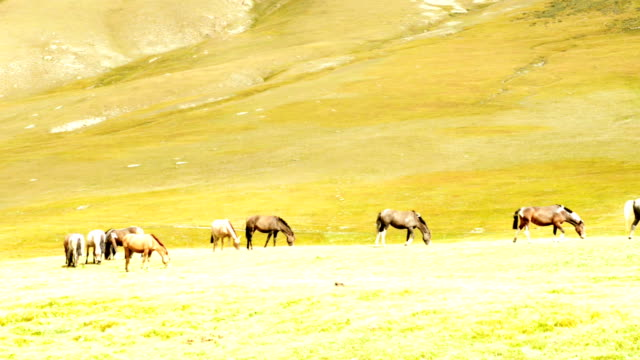 Herd of horses on pasture video