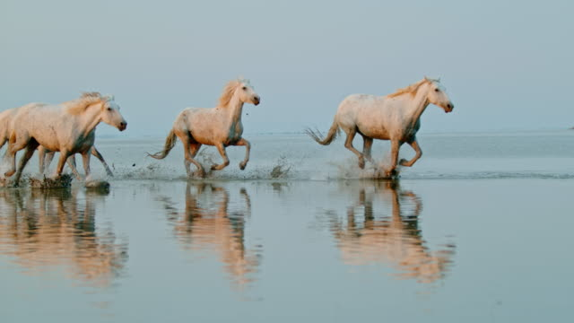 SLO MO Herd of horses running on the beach Super slow motion shot of a herd of horses running in shallow water on the beach. The Camargue National Reserve. France. Europe. beauty in nature stock videos & royalty-free footage