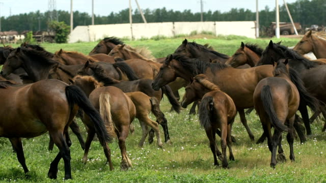 herd of horses running on the pasture in autumn - cavalla video stock e b–roll