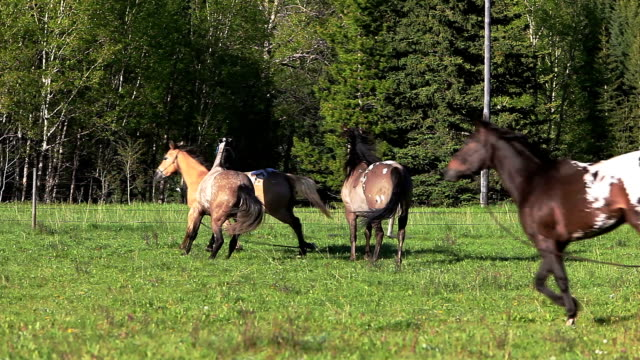 Herd of Horses running video
