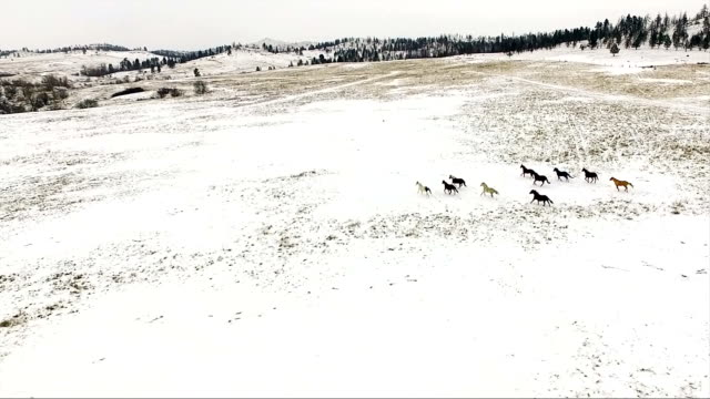 herd of horses running winter snow wild stallions equestrian animals - mustang video stock e b–roll