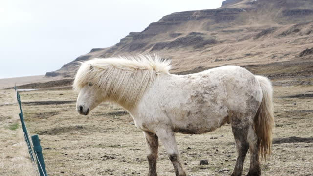 Herd of Icelandic horses beautiful calm animal. Iceland important Industrial livestock farming production ビデオ