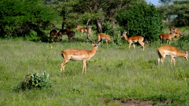 Herd Of Impala Antelopes Grazing In Africa Wildlife Reserve
