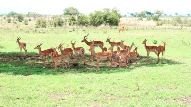 Herd of Impala antelopes hiding from the sun in the shadow of a tree video